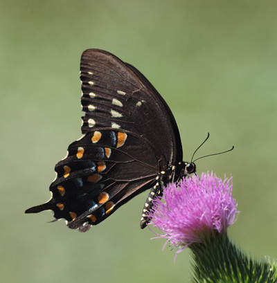 Spicebush butterfly and Thistle