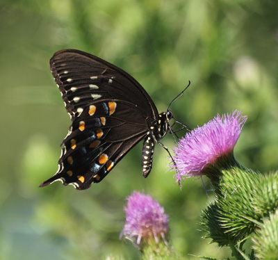 Swallowtail spicebush