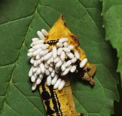 Parasites over caterpillar