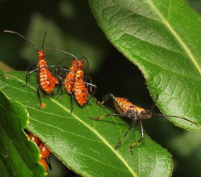 Assasin Bugs