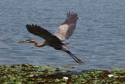 Great Blue Heron in glide