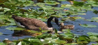 Geese bonding