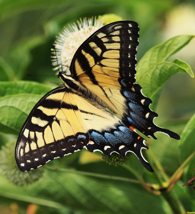 Swallowtail and buttonbush