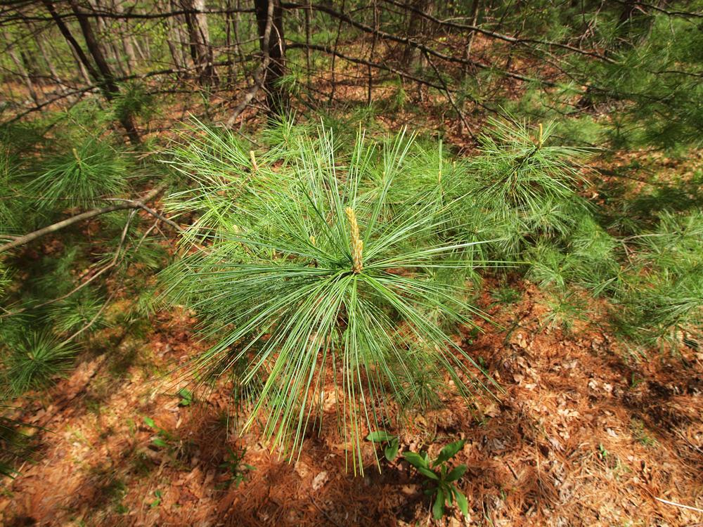 Long Leaf Pine needle