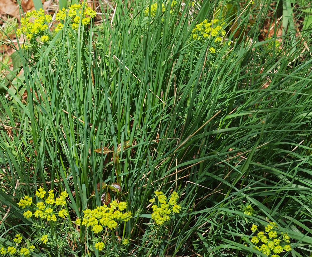 Unknown wild flower with rye grass