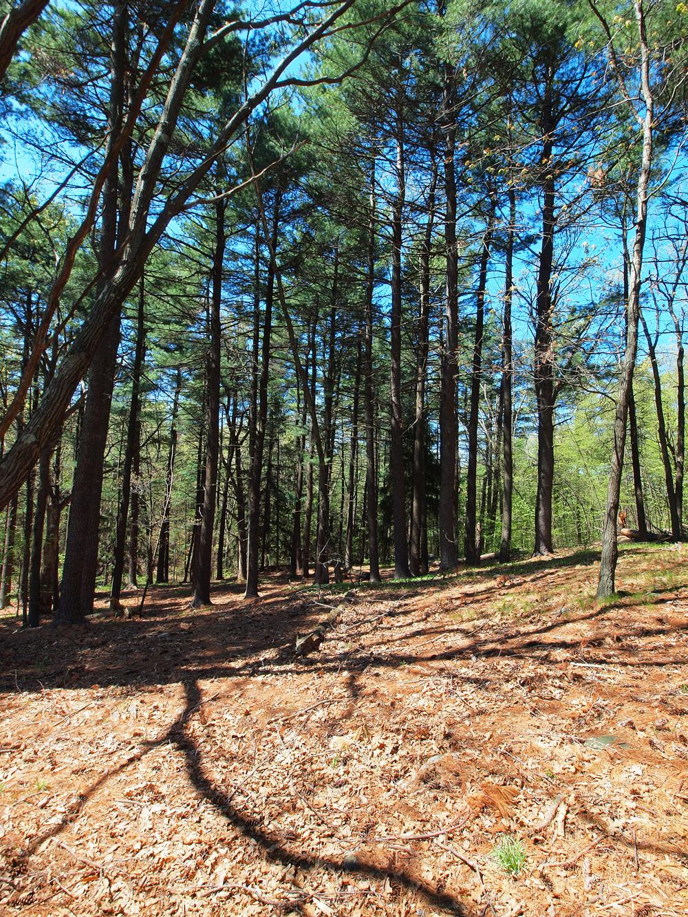 Woodlands and Pine cones