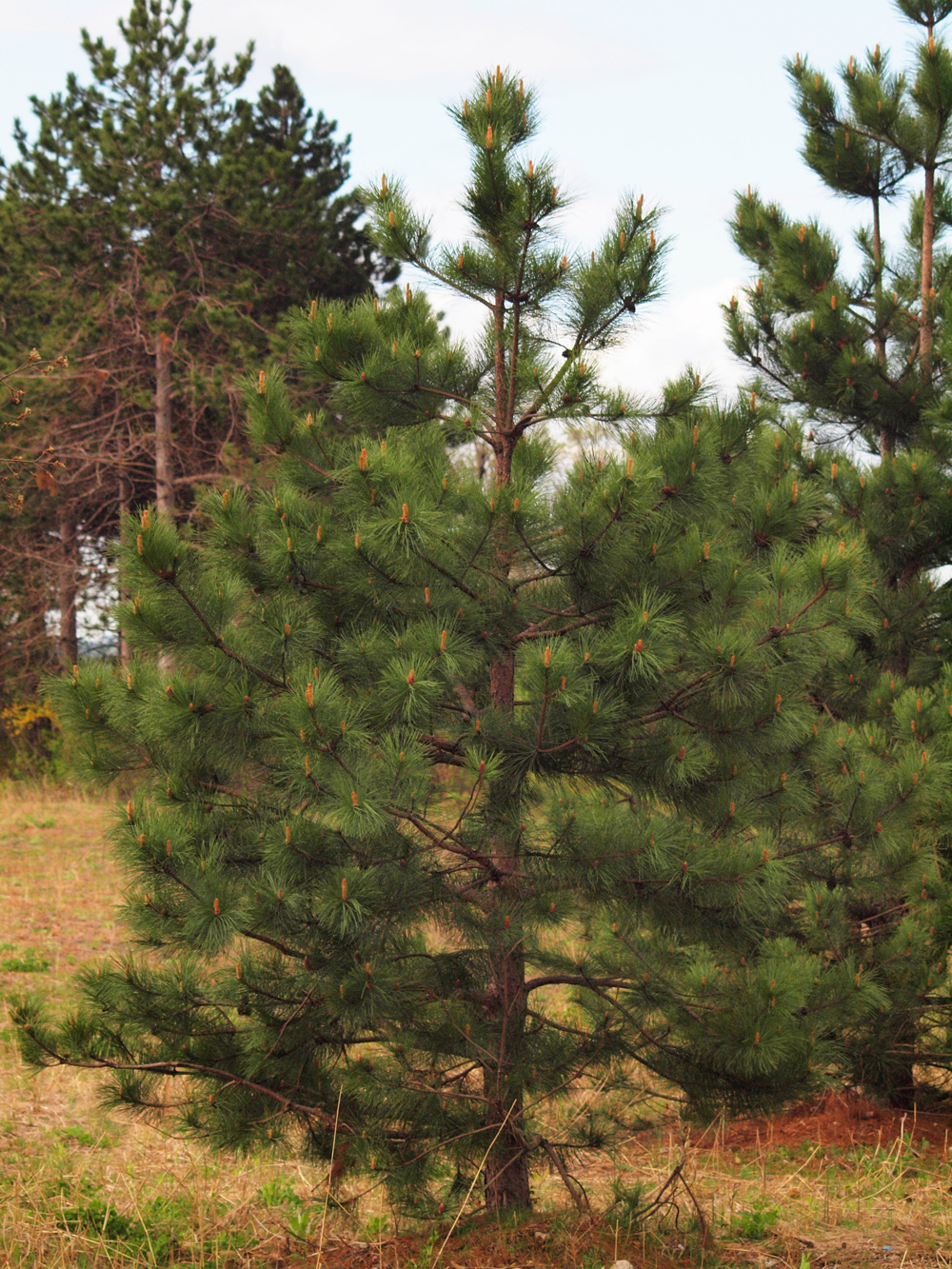 Young Red Pine