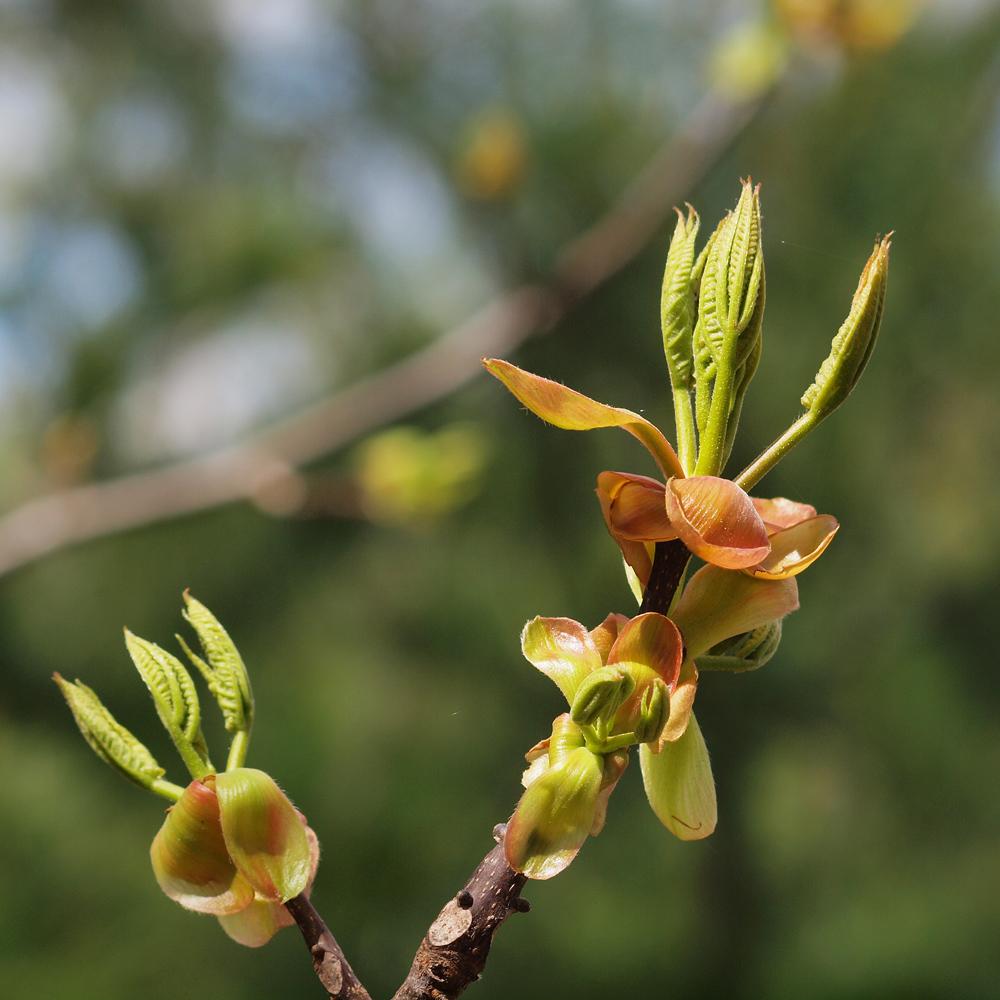 A leaf bud