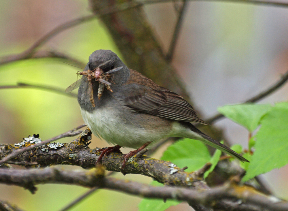 Junco with fly