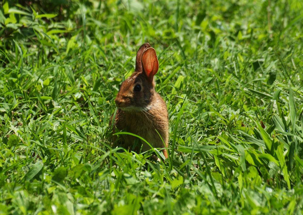 Swamp Rabbit run