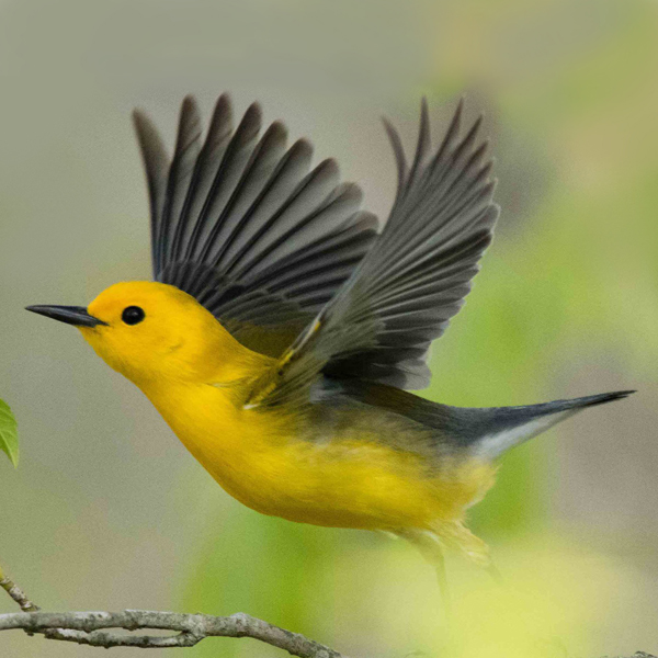 10. Prothonotary Warbler