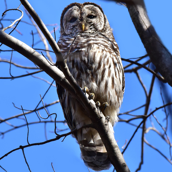 14. The Barred Owl