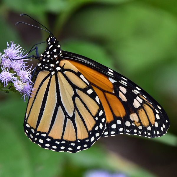 5. Monarch Butterfly