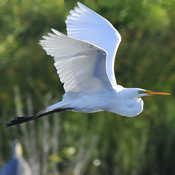 15. The Great Egret