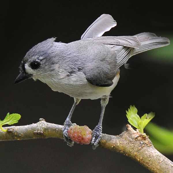 6. The Tufted Titmouse