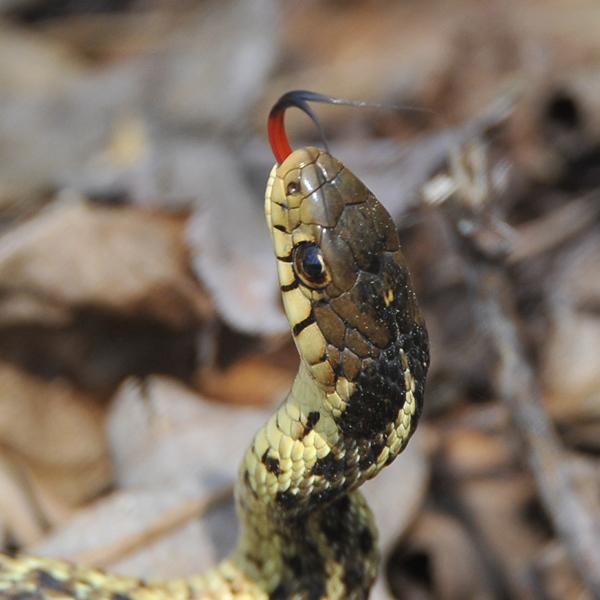 9. The Eastern Garter Snake