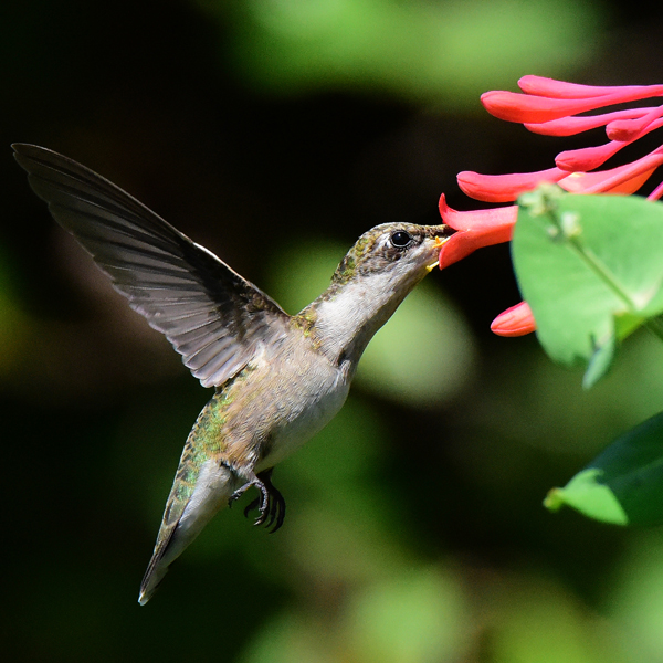 18. Ruby throated Hummingbird