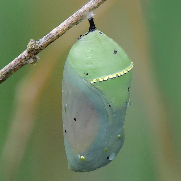 4. Monarch chrysalis
