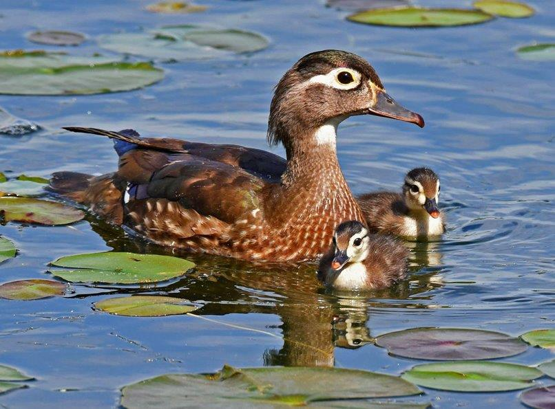 Wood Duck family Panel No 9