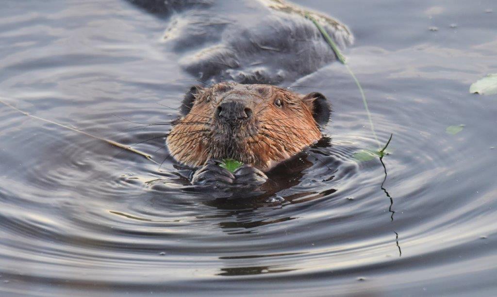 Beaver; Panel 3 No 1