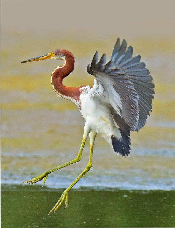 Tricolored Heron; Panel 5 No 4