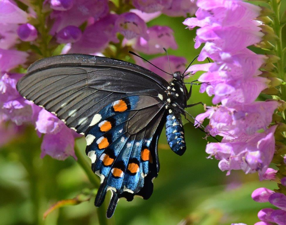 Pipevine swallowtail ; Panel 2 No 7