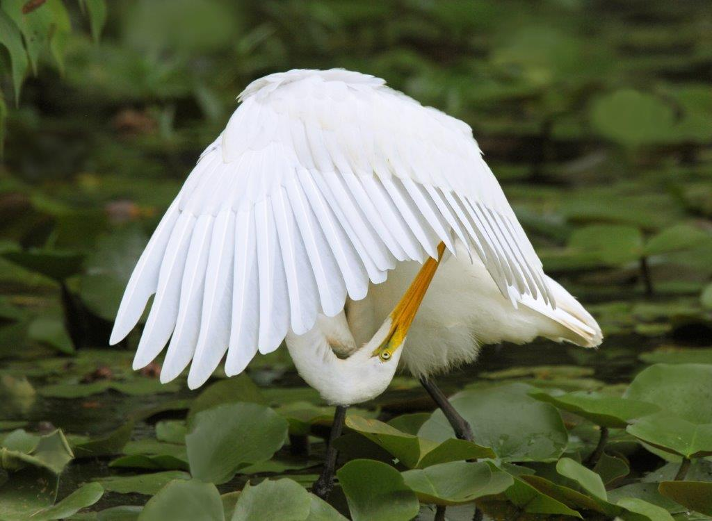 Great Egret; Panel 2 No 8