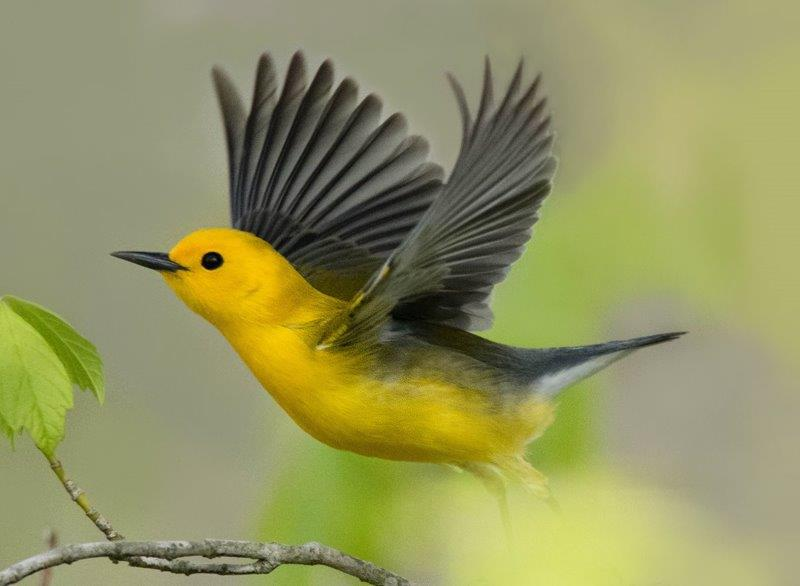 Prothonotary Warbler; Panel 5 No 6