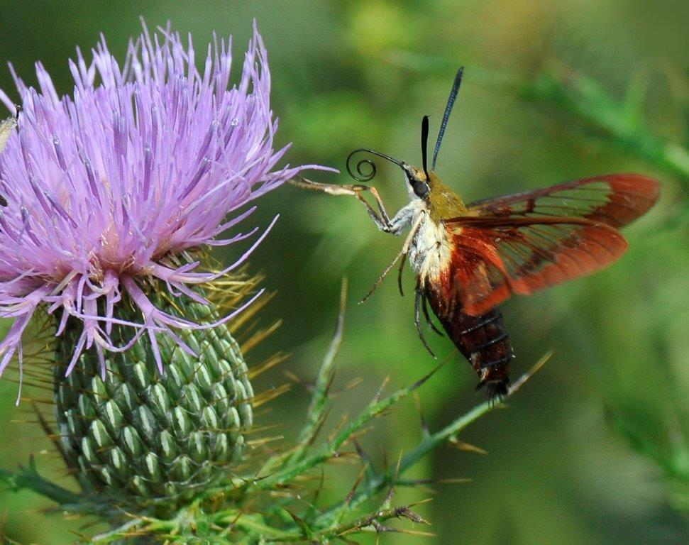 Thistle and Clearwing Moth; Panel 4 No 9