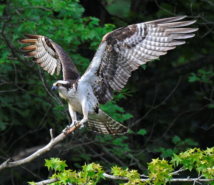 The Osprey at Cash Lake; Panel 2 No 5