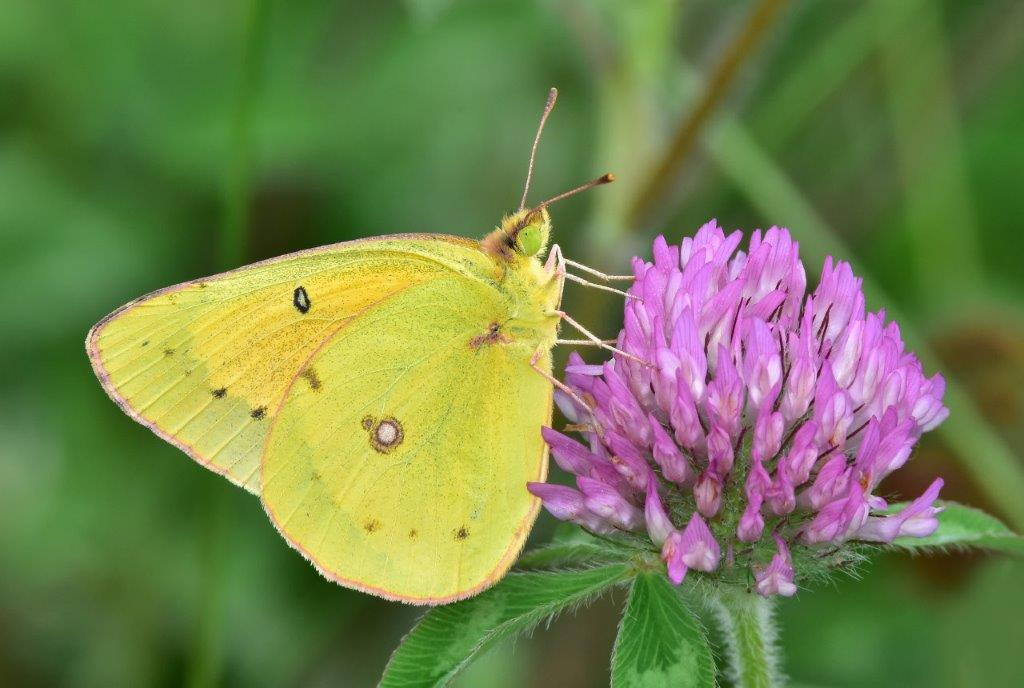 Clouded Sulphur  Butterfly; Panel 2 No 4