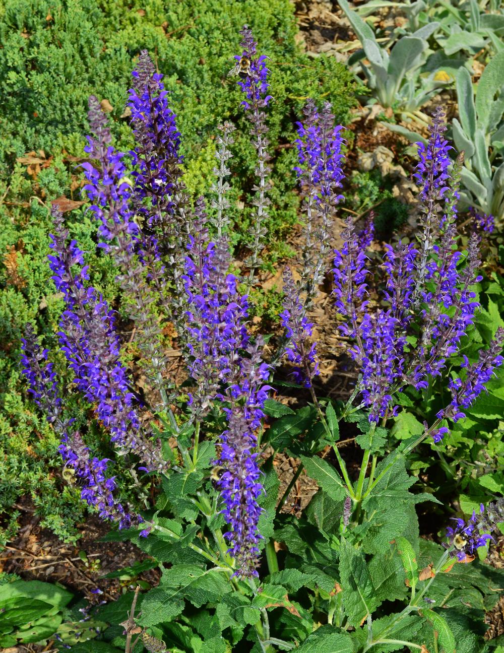 Salvias flowers
