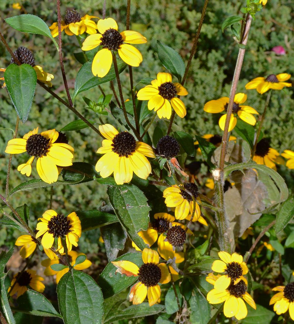 Flowering Black Eyed Susans