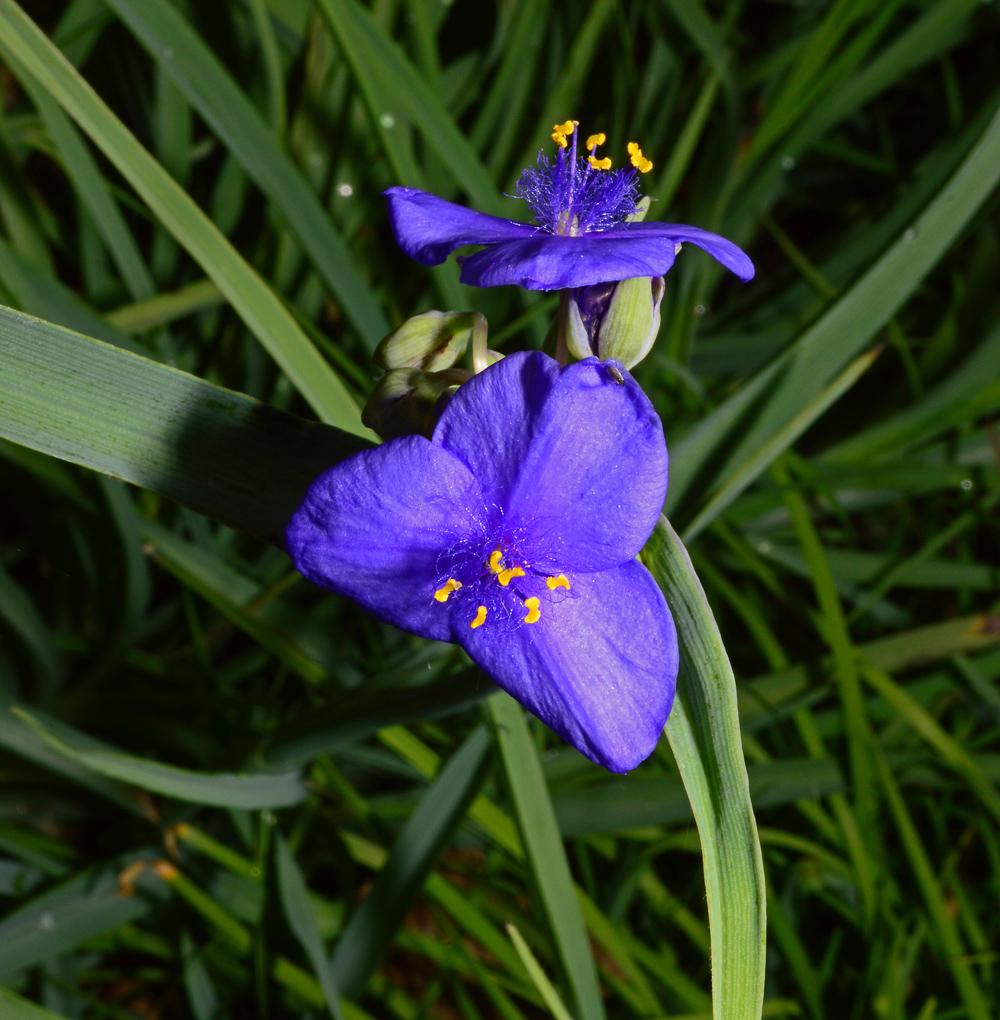 Flower Spiderwort