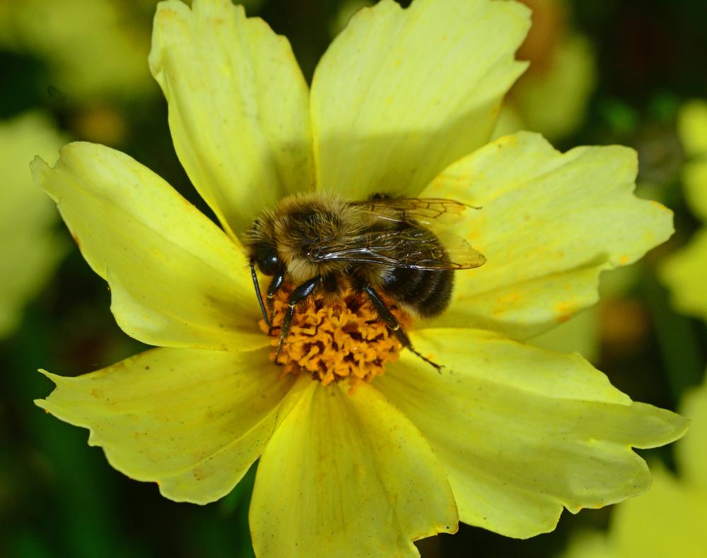 Carpenter bee pollinating flower