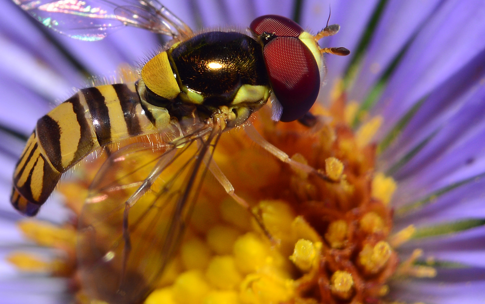 Flower fly closeup