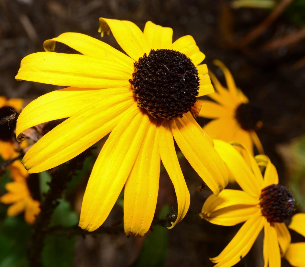 Flower Black Eyed Susan