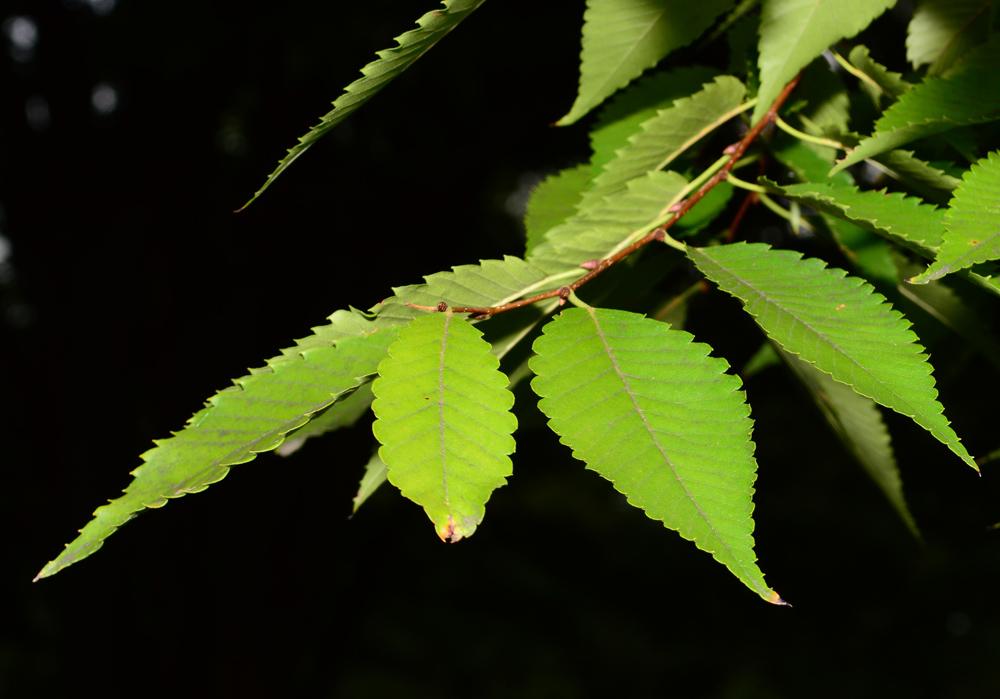 Chestnut Leaf in contrast lighting