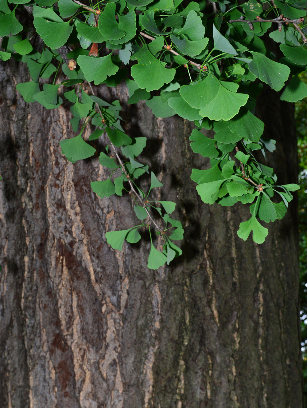 The Ginkgo leaf and tree bark