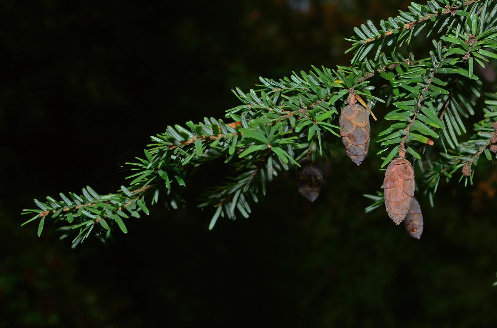 Eastern Hemlock Cone