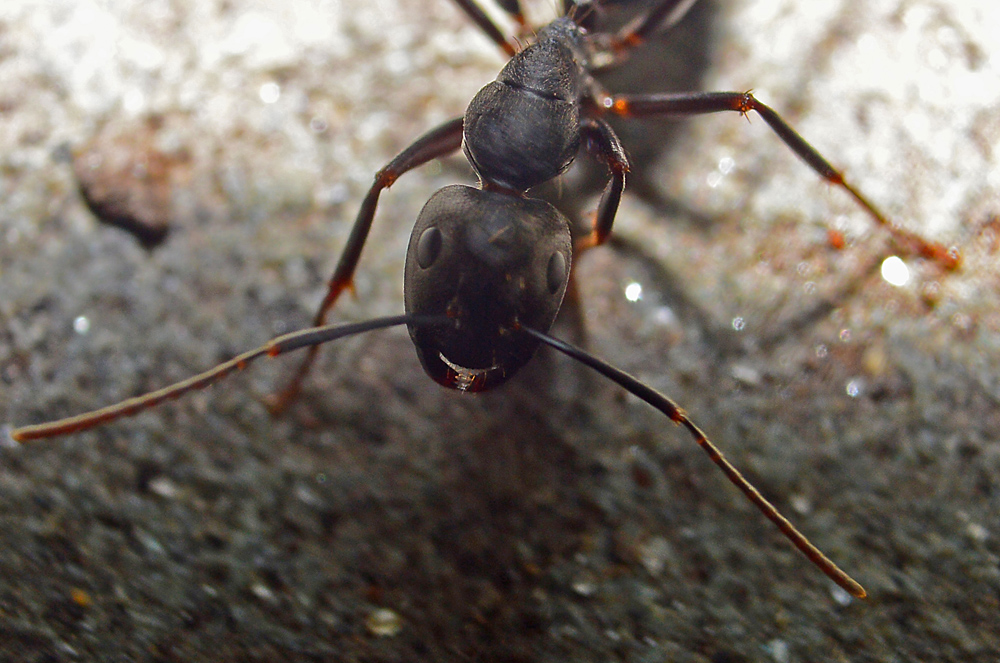 Silky Ant in your face micro.