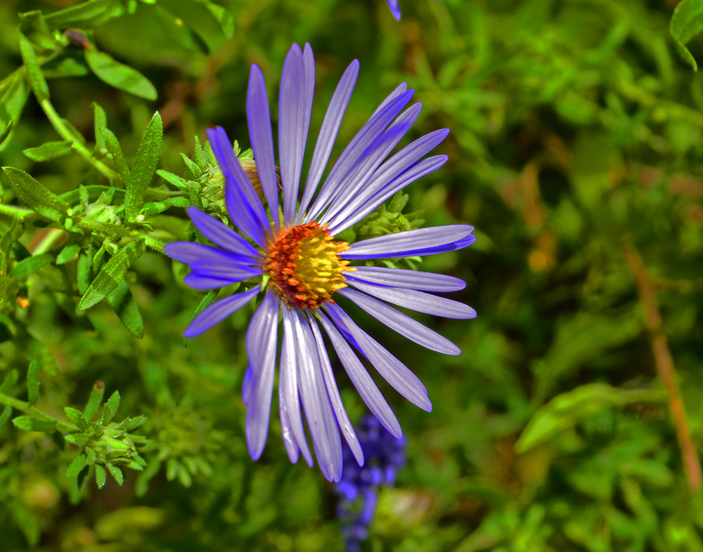 Smooth edge Aster