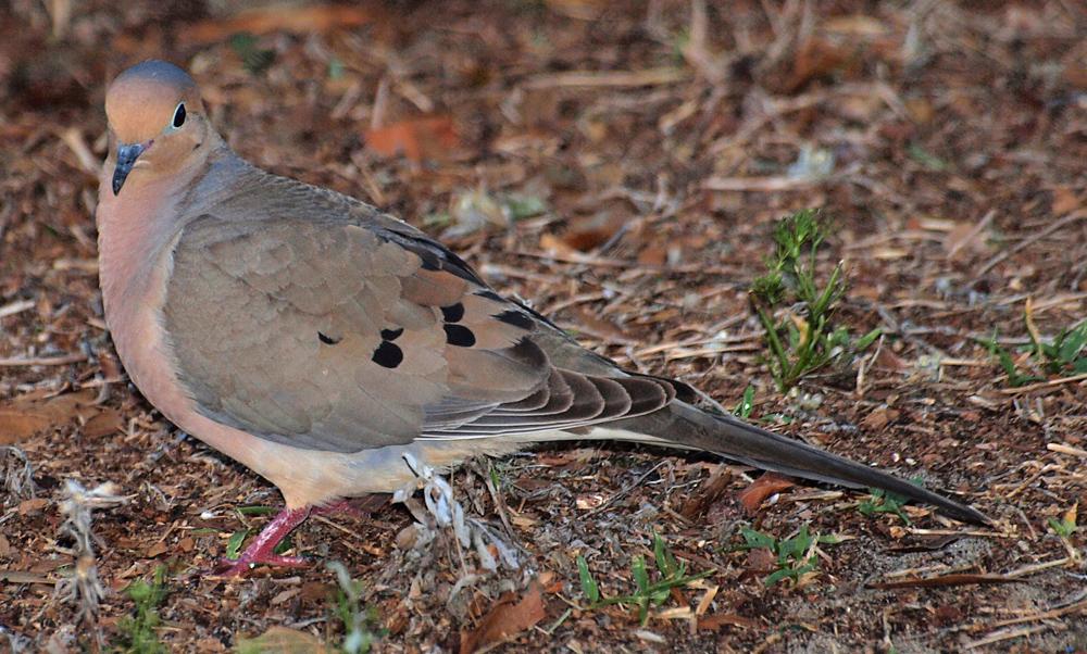 Local Dove
