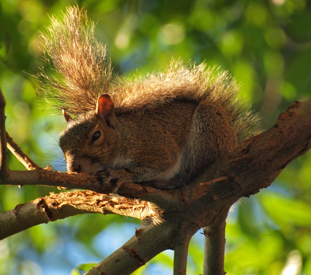 squirrel in evening light