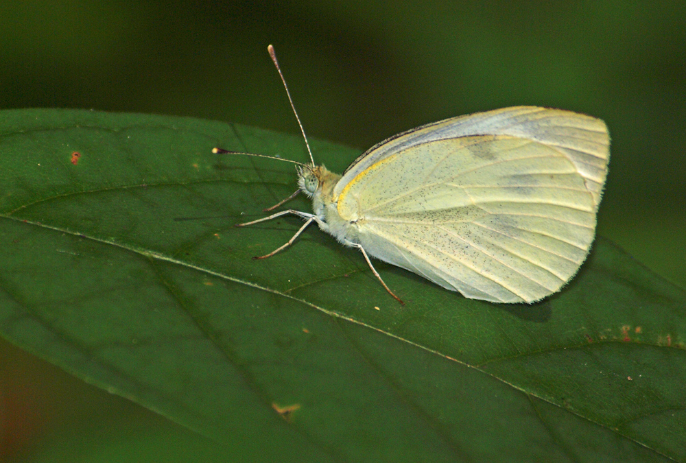 Cabbage butterfly on leaf