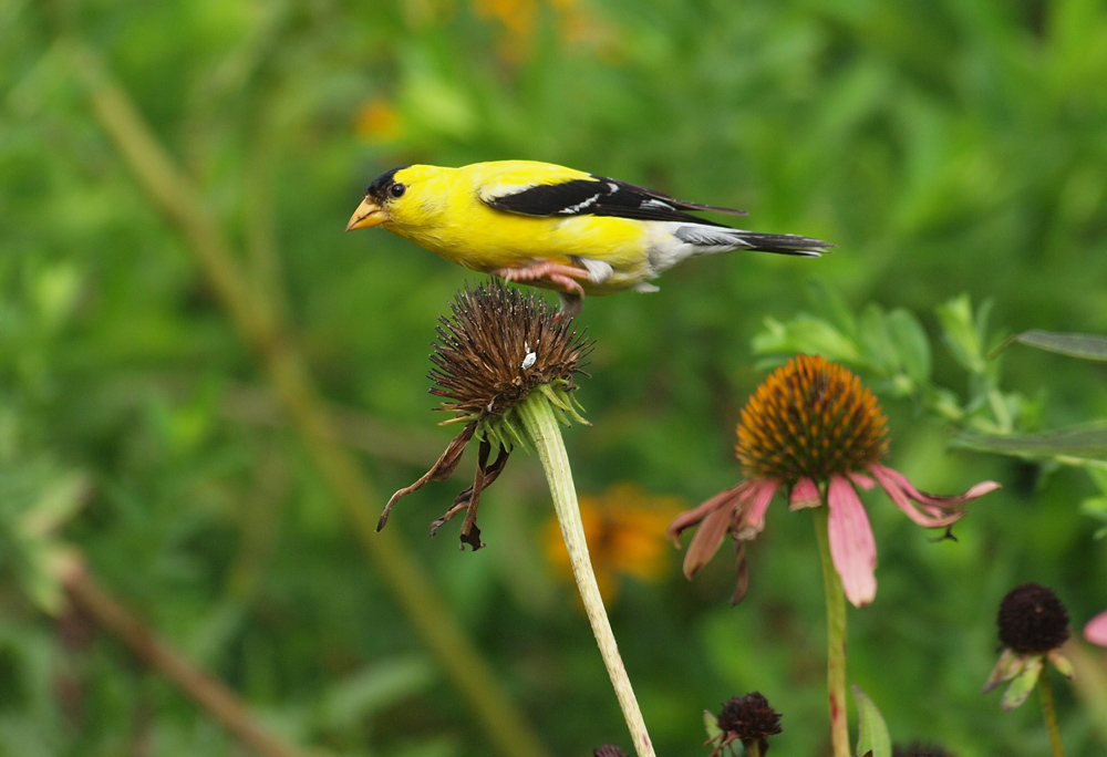 Goldfinch on cone flower
